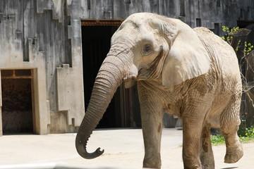 ゾウ アフリカゾウ アフリカ象 アフリカ像