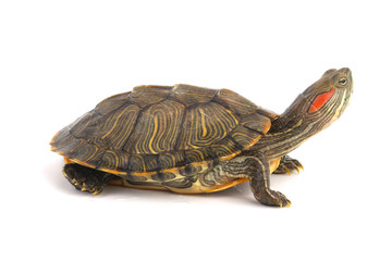 Papiers peints Tortue Trachemys Scripta Elegans On White