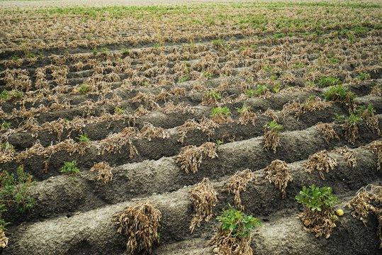 Dried potato field