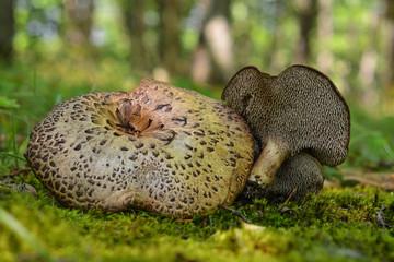 sarcodon imbricatus mushroom