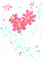 Drawing with watercolors: flowers plants of the Cosmos.