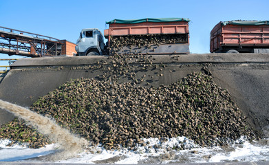 The unloading of sugar beets at the plant