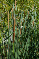 Close-up of Lesser Bulrush Plants, Typha Angustifolia, Nature, Sicily