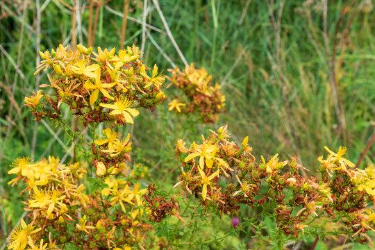 Yellow-flowered St. John's wort, Hypericum perforatum in a natural environment