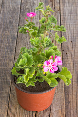 Geranium pelargonium flower in pot on wooden background