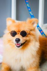 Pomeranian dog smile so cute.