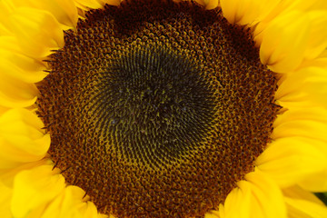 blooming sunflower in the nature