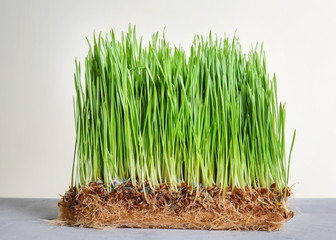 Sprouted wheat grass on table against white background