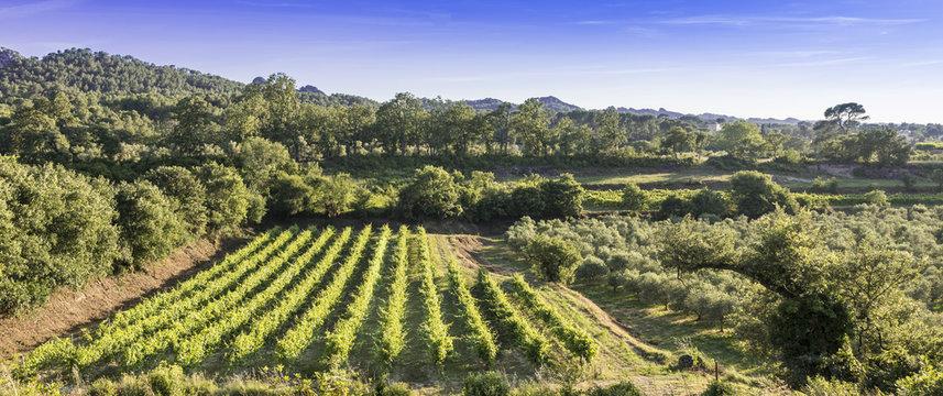 Vineyard overlooking the Alpilles near Remy de Provence. Buches du Rhone, Provence, France.