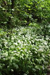 wild bear´s garlic (Allium ursinum) in flower in the riparian forest in Leipzig, Germany