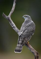 Sparrow hawk (Accipiter nisus)