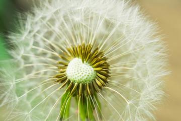 dandelion macro photo