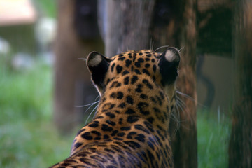 Leopard at the zoo