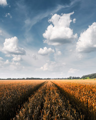 Ripe golden wheat field against the blue sky background. Landscape photography