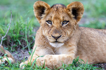 Lion cub resting in the bush of Sabi Sands Game Reserve in South Africa