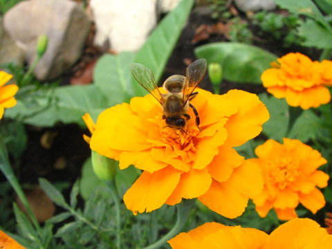 bee on the marygold flower