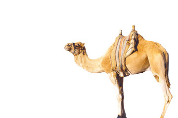 Poster Kameel dromedary arabian camel isolated on white background