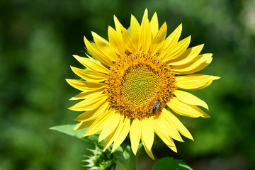 decorative sunflower on green background