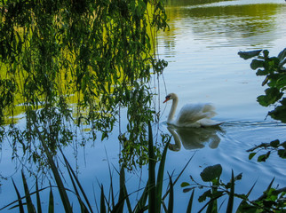 white swan floating on green water under willow branches