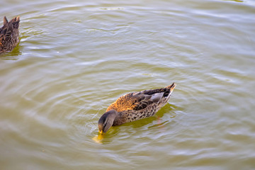 Image of a duck floating in a park reservoir.