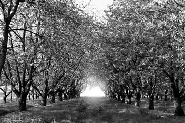 Apfelbaum Allee Ortenau