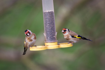 Two European Goldfinches Feeding on a Seed Feeder