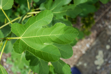 green leaf of fig tree, ficus carica, close up view