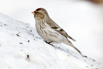 Arctic Redpoll (Acanthis hornemanni)