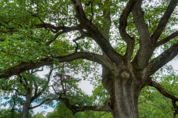 Wall Mural - majestic old oak giving shade to a spring meadow