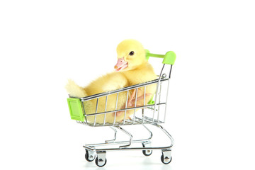 Little yellow duckling in shopping cart on white background