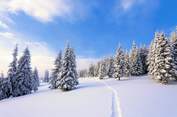 On a frosty beautiful day among high mountains are magical trees covered with white fluffy snow against the magical winter landscape.