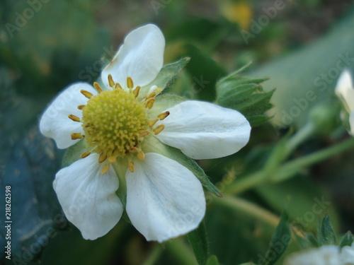 Gros Plan Avec Fleur De Fraisier Et Decor De Jardin En Printemps