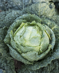 Cabbage growing in garden