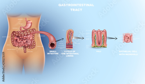 Gastrointestinal tract anatomy. Intestinal villi, small intestine ...