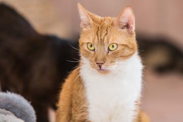 Portrait of european cat living in belgium