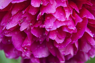 Peony in drops of dew in garden. Flower washed with dew