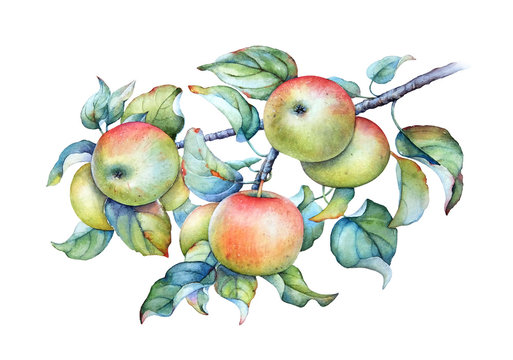 Watercolor illustration of the apple tree branch with green leaves and apples