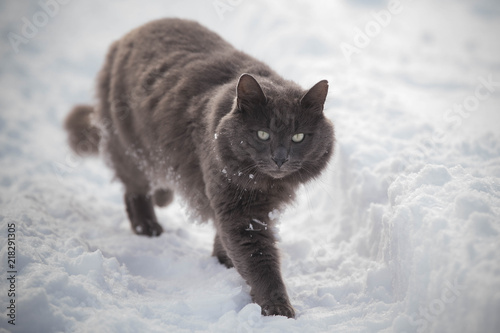 Russian Blue Gray Cat Walking Through Deep Snow Stock Photo And