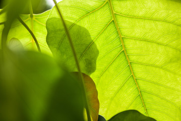 Texture of Bo leaf