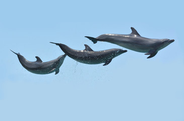 Dolphins leaps in the air