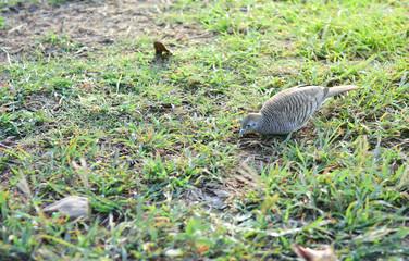 Java Dove on the ground.