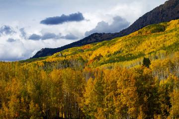 Golden Aspen Trees in the Colorado Rocky Mountains