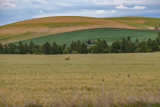 leaping deer in Palouse field