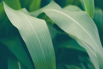 Closeup image of corn field in the farm