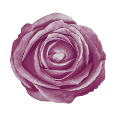 flower eggplant rose isolated on white background. Close-up. Element of design.