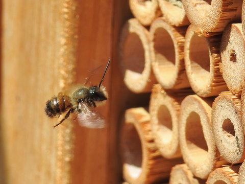 Wild mason bee (prob. Osmia bicornis) flying towards insect hotel