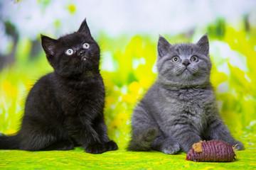 Kittens Scottish black and blue