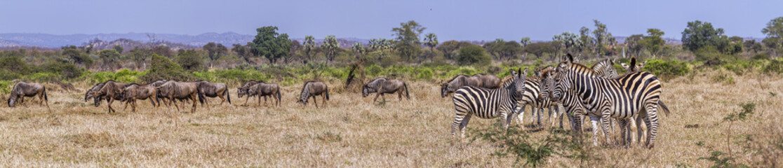 Plains zebra  and Blue wildebeest in Kruger National park, South Africa ; Specie Equus quagga burchellii and Connochaetes taurinus