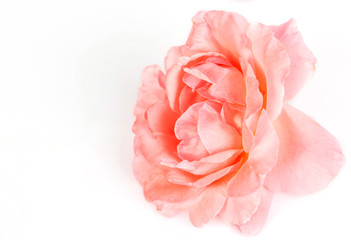 the pink rose lies on a white background