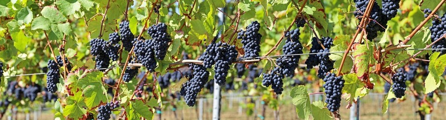 Blue grapes on vine panoramic image